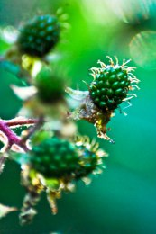 Unripe blackberries with sunlight halo