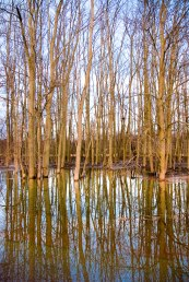 Trees reflected in a flooded river during the spring